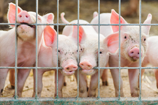 You Can Export the Whole Pig (Except for the Squeal) | Shipping Solutions